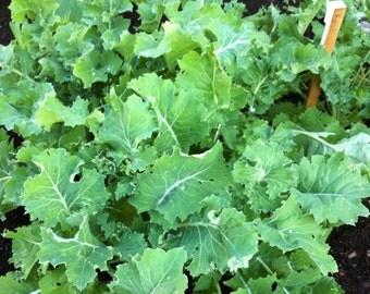 Kale Seeds - Brassica oleracea - Heirloom Herb Seeds