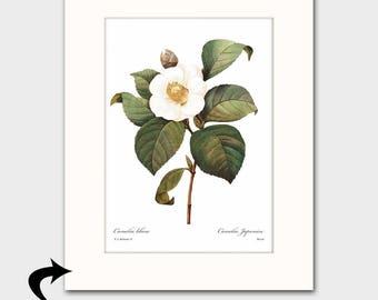Camellia Art w/Mat (White Bedroom Wall Decor, Antique Botanical Art) Matted Redoute Flower Print