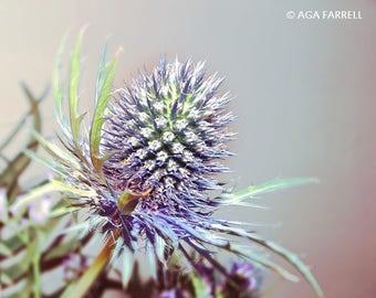 Thistle Photography, Scottish Art, Celtic Art, Thistle Flower, Purple Print, Botanical Art, Purple Wall Art, Nature Art, Thistle Print