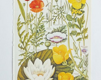 Botanical Drawings - vintage botanical flower illustrations - pictures of flowers - Poppy -  Waterlily