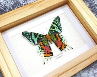 FREE SHIPPING Framed VERSO Madagascan Sunset Moth Urania rhipheus (Chrysiridia rhipheus) Taxidermy A1- #78