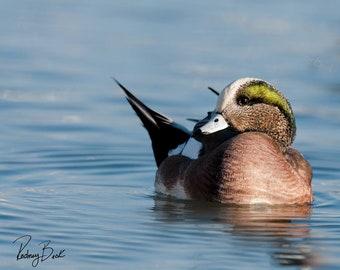 American Wigeon: Duck Photographs