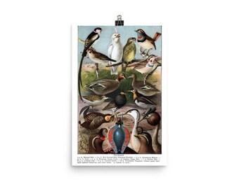 "1916 ""Plumage"" Reproduction Print | Antique Ornithological Illustration | Birds"