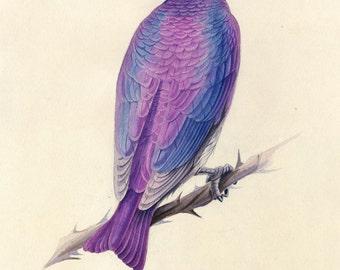 Violet-backed starling. Art print