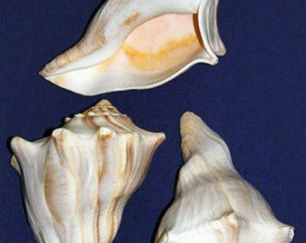 "Atlantic Whelk Shell-Busycon carica 4-1/2""-5"" Seashell Craft Supply Select 2 Pcs."