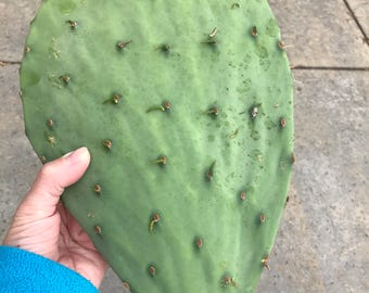 Cold Hardy Prickly Pear Cactus Pad