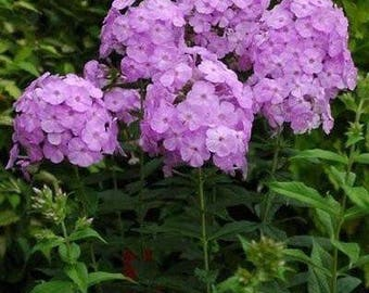 "18- Summer Phlox ""David's Lavender"" plants. 3.5"" potted plants. Free shipping."