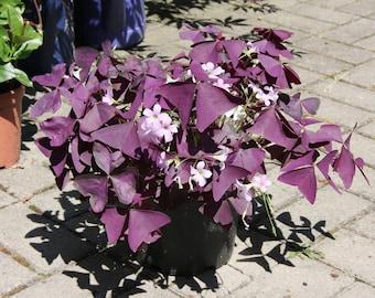 Purple Shamrock aka Oxalis triangularis Live Plant Fit 1 Gallon Pot