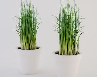 """2 Chives Herb Live Plants FIit 3.5"""" Pot"""