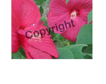 Two Red Hibiscus Photo