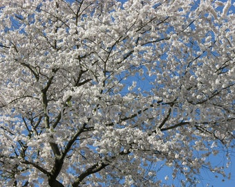 Beautiful White Spring Blossoms #44