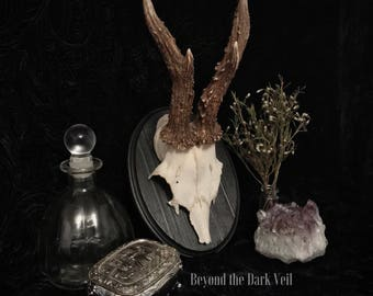 Victorian Roe Deer Antlers Plaque, Taxidermy, Taxidermy Art, Animal Mount, Antlers, Memento Mori, Oddity, Macabre, Gothic Decor, Wall Plaque