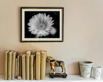 Black and White Gerbera Daisy Fine Art photograph,  Black and White Flower, Wanderlust Flower Photograph, Fine Art Print, Photography