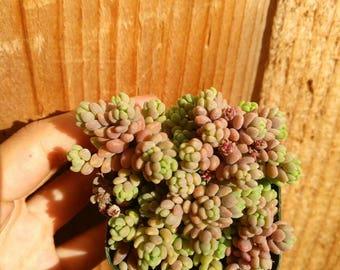 """Sedum Dasyphyllum Rare Succulent Plant 2"""""""