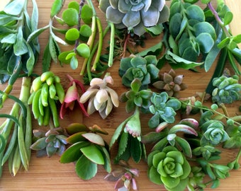 10 Assorted Succulent Cuttings Live Plant Colorful Variety Great Wedding Favors