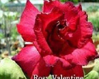 Adenium plant Rosy Valentine Desert Rose rare flowering size succulent plant size Large