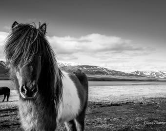 Horse print poster icelandic pony