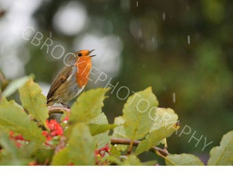 Robin singing in the rain