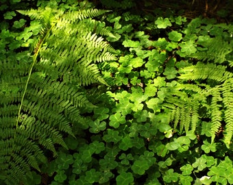 Ferns and Clover, 8x10 Photo Print