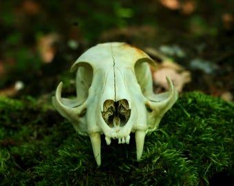 Real Bobcat Skull