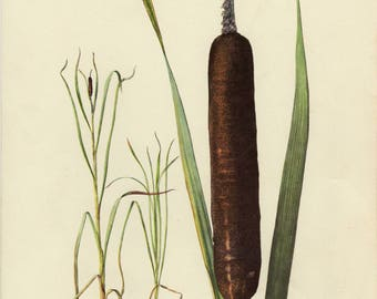 Vintage lithograph of broadleaf cattail or common bulrush from 1954