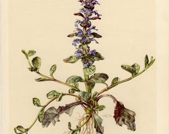 Vintage lithograph of the bugle, blue bugle, bugleherb, bugleweed, carpetweed, carpet bugleweed from 1954