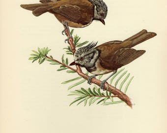Vintage lithograph of the European crested tit from 1953