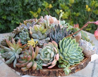 200 succulent cuttings to use in projects, or to plant in pots. Great for weddings too.