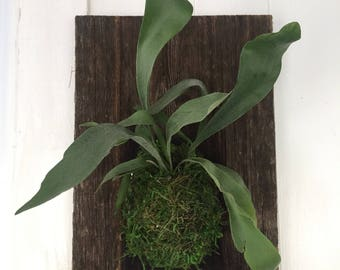Staghorn Fern Mounted on Barnwood