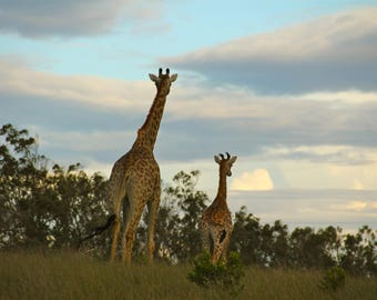 Giraffes - Mother and child looking out into the wild
