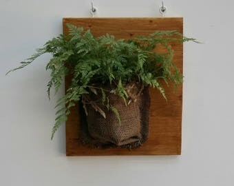 Squirrel's foot fern wrapped in burlap (Davalia mariesii)