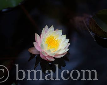 Water Lily in a Small Pond - Georgia - Nymphaeaceae - Lilies