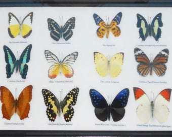 REAL 12 BEAUTIFUL BUTTERFLIES Taxidermy Collection Framed/BF16A