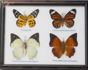 REAL 4 BEAUTIFUL Butterfly Taxidermy Framed     BTF04T