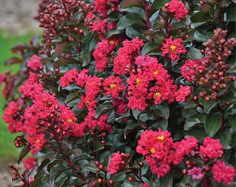 Lagerstroemia 'Cherry Mocha' PPAF BARISTA® Collection-Dwarf Crapemyrtle