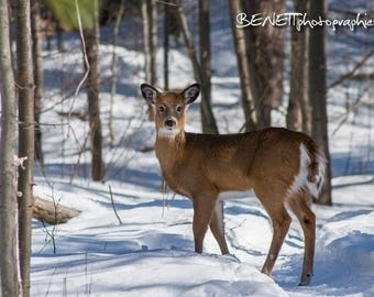 Photograph of a young deer in snow