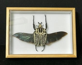 Goliathus Orientalis (spread) - Real beetle - collectibles - espécimen -  taxidermia - coleccionable - insects