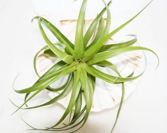 Air Plant Tillandsia / Succulents / Terrarium Plants