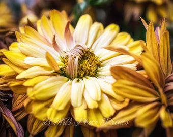 Golden Chrysanthemum - Flower Photo - Nature Portrait - Fine Art Photography - Color Print - Detailed - Macro - Fall - Flower Photography