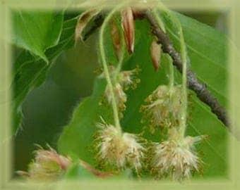 Beech Flower Essence