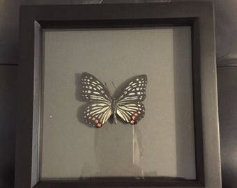 Framed taxidermy butterfly