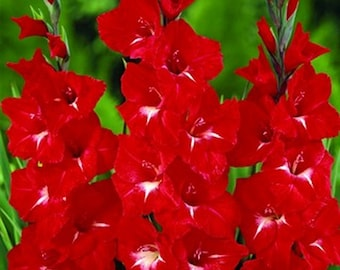 50 Gladiolus Flower Bulbs-Traderhorn Gladiolus(Pack of 50 Bulbs) Deer Resistant Zone: 3-10