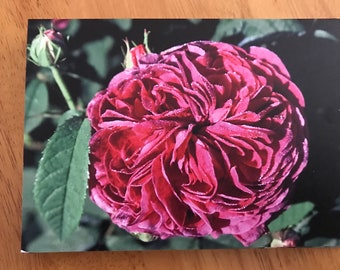 A blank greeting card featuring the Gallica rose, Charles de Mills