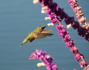 Hummingbird in Flight 8x10 nature photo print