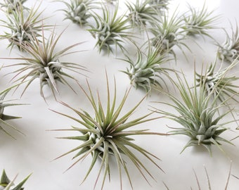25 - 50 or 75  Tillandsia Ionantha's - Air Plant - Airplant - Terrarium - Air Plants - Beach - Epiphyte - Plant - Modern - Home - Beach