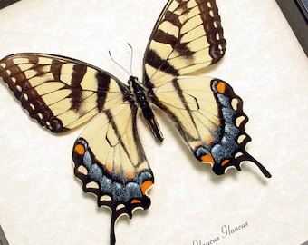 Real Framed North American Papilio Glaucus Female Tiger Swallowtail Butterfly 562F