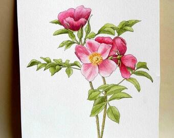 Rugosa Rose watercolor painting