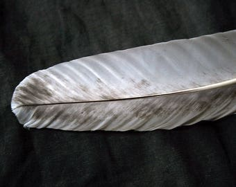 """x1 Large Wing Feather - 11 7/8"""" Dusted White, Cruelty-Free, Domestic Heritage Turkey - meleagris gallopavo HTF091"""