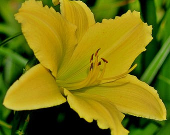 Lilly  in Bloom