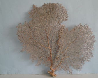 "13.2"" x 13"" Pacifigorgia Red  Sea Fan Seashells Reef Coral"